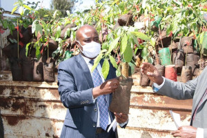 Gov. Barchok displays the Hass variety of avocado . The county distributed 10,000 seedlings of the variety to farmers across the county to boost the county forest cover.